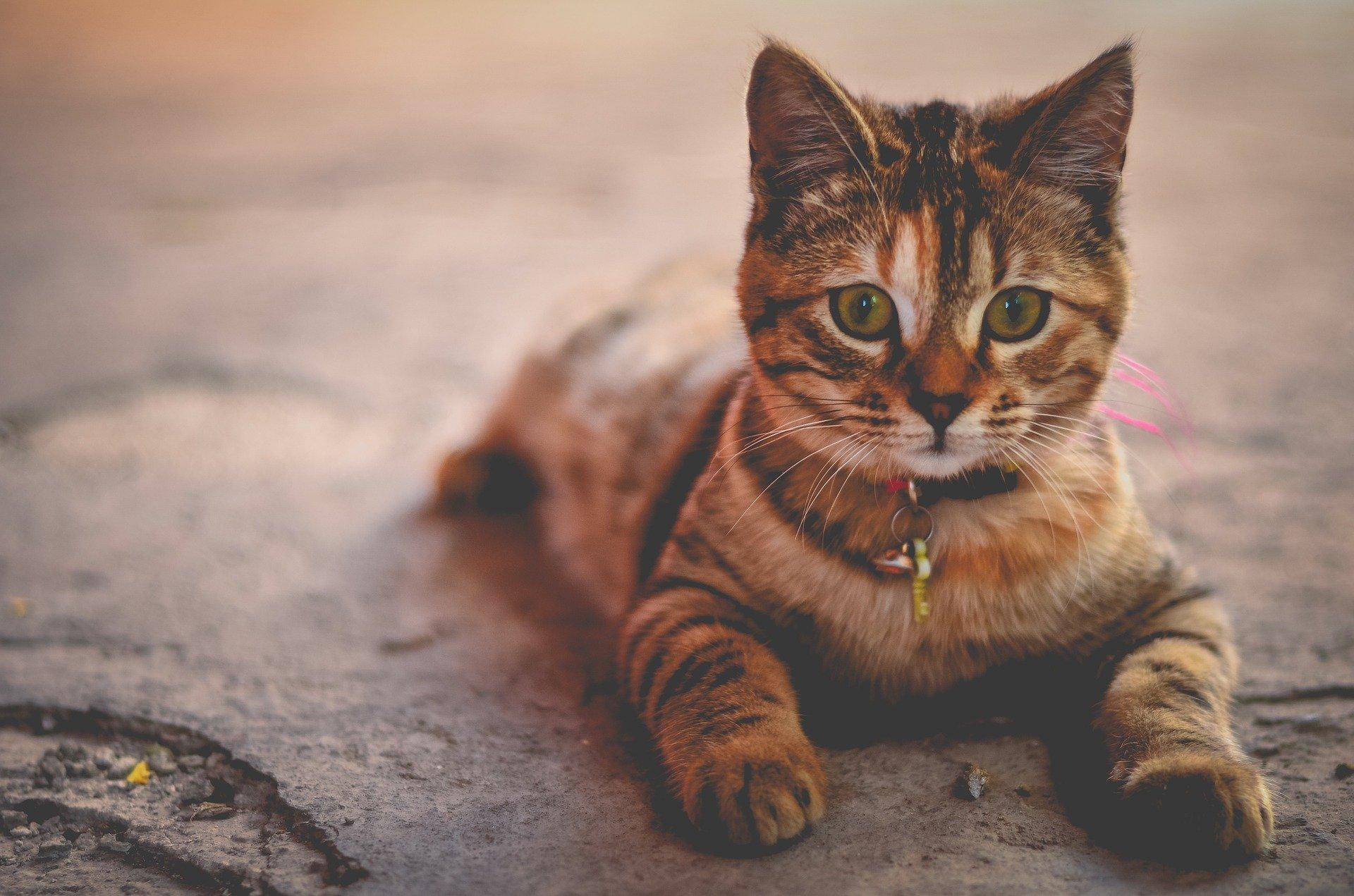 Por qué ponemos collar a un gato